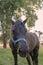 Stock Image : Black pony with its nose towards camera