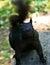 Stock Image : Black squirrel