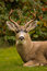 Stock Image : Black-tailed Deer Stag