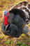 Stock Image : Black Turkey