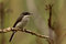 Stock Image : Black Winged Flycatcher Shrike.