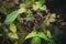 Stock Image : Blackberry bush