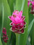 Stock Image : Blooming curcuma