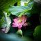 Stock Image : Blooming lotus flowers3