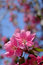 Stock Image : Blooming pink cherry blossom flower