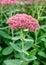 Stock Image : Blossom sedum, stonecrop, crassula .