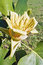 Stock Image : Blossomed flower of tulip tree