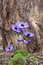 Stock Image : Blue anemone (coronaria or Mr. Fokker)