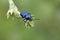 Stock Image : Blue beetle