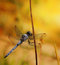 Stock Image : Blue dragonfly on branch