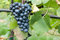 Stock Image : Blue grapes