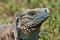 Stock Image : Blue Iguana
