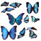 Stock Image : Blue morpho butterflies
