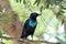 Stock Image : Blue Starling Exotic Bird
