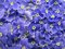 Stock Image : Blue veronica flowers