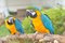 Stock Image : Blue-and-yellow Macaw (Ara ararauna)