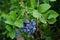 Stock Image : Blueberries on bush