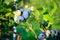 Stock Image : Blueberries ripening on the bush