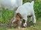 Stock Image : Boer Goat Kid
