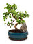 Stock Image : Bonsai tree in blue pot