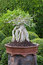 Stock Image : Bonsai