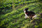 Stock Image : Border collie playing