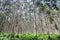 Stock Image :  Bosque del eucalipto en el Mak de la KOH