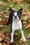 Stock Image : Boston Terrier in Autumn