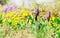 Stock Image :  Botões da íris de anão no prado da mola