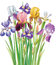 Stock Image : Bouquet of Iris flower