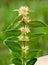 Stock Image : Boxwood blossom