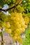 Stock Image : Branch of grape