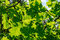 Stock Image : Bright green foliage of oak