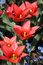 Stock Image : Bright red tulips