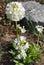 Stock Image : Bright white flower primrose
