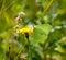 Stock Image : Brimstone Butterfly