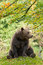 Stock Image : Brown Bear in the Bavarian forest.