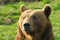 Stock Image : Brown Bear