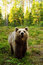 Stock Image : Brown bear in forest at summer