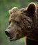 Stock Image : Brown bear portrait