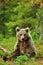 Stock Image : Brown bear sitting