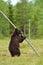 Stock Image : Brown bear standing
