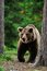 Stock Image : Brown bear walking