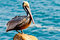 Stock Image : Brown Pelican