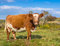 Stock Image : Brown and White Cow Closeup