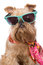 Stock Image : Brussels Griffon in sunglasses