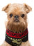 Stock Image : Brussels Griffon in a sweater