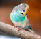 Stock Image : Budgerigar