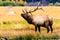 Stock Image : Bugling Elk