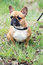 Stock Image : Bull dog puppy portrait